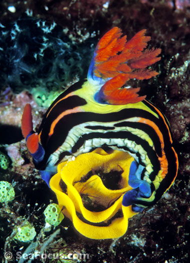 Nembrotha rutilans nudibranch laying an egg ring