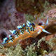 Flabellina nudibranch
