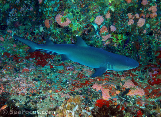 Reef shark on the Magnet