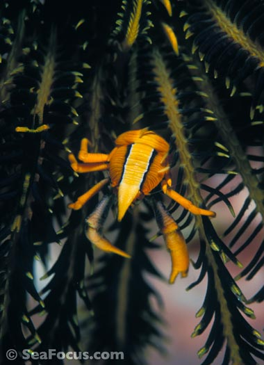 Squat lobster in crinoid
