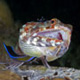 Lizardfish with cleaner wrasse and cleaner shrimp