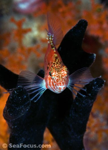 Threadfin hawkfish, Indonesia