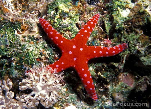 Starfish - Fromia sp.