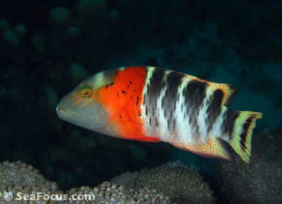 Redbreasted wrasse, Indonesia